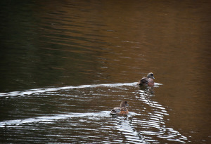 widgeon-ducks-1013tm-pic-1693